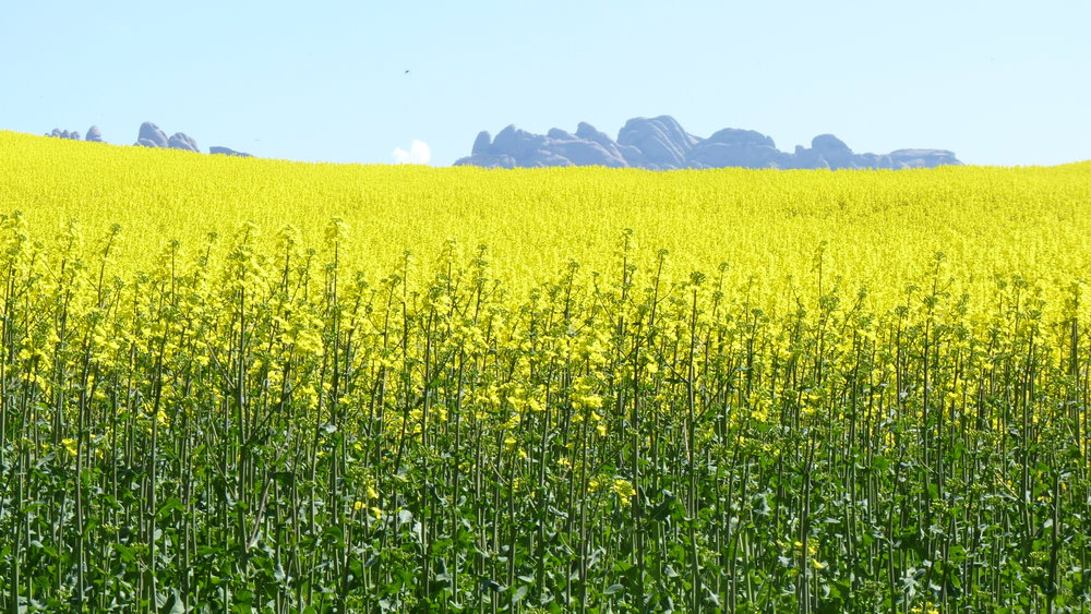 Planting cover crops, like mustard,helps farmers reduce erosion, cut down on pests, and aerate the soil.