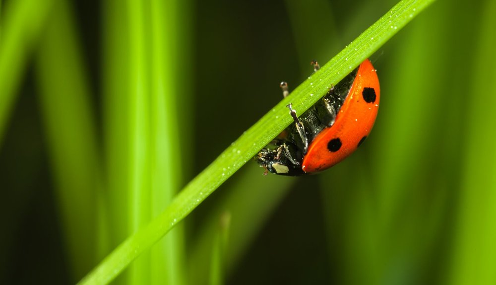 Not all bugs are bad! Lady bugs are among the many insects that are your friends in the field.