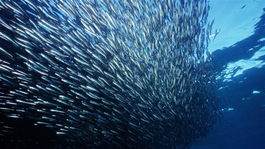 Anchovies are among the tons of small fish being over harvested and turned into omega-3 supplements. Cutting out this important layer of the food chain is seriously disrupting the ocean's ecosystem. Photo source: Seapics