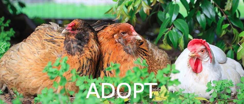 Isabelle Cnudde's sanctuary is a stop on the very popular Silicon Valley Tour de Coop, which she sees as an opportunity to talk with more people about the rescue chickens she has adopted.