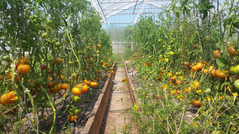 "The tomatoes pictured here, in Acadia Tucker's garden, are grown with heavy helpings of organic material, which draws down excess carbon in the atmosphere. ""I like to imagine what we could accomplish if more of us believed in the power of soil, even a little bit of it,"" says Tucker."