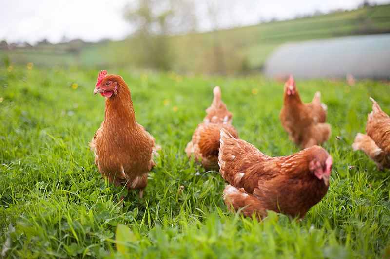 A tiny minority egg-laying hens have enough space to forage and move around in freely. Photo credit: Riverford Organic Farmers