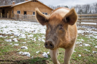 Former escapee Cici at her new home at Woodstock Farm Sanctuary in High Falls, New York.