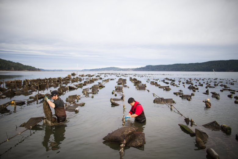 Oyster farming is suffering the consequences of rising greenhouse gas levels. To save their climate-friendly industry oyster farmers are banding together to sound the alarm, and search for sustainable solutions.  Image Source