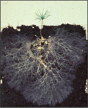 The white strings of mycorrhizal fungi form a network of fibers that help plants absorb more nutrients. photo: MPGranch.com
