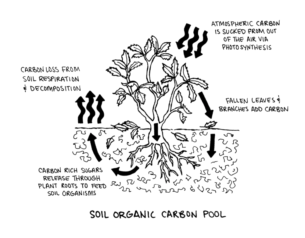 The soil holds twice as much carbon as the atmosphere. Most of the carbon stored underground comes from plants through photosynthesis. As plants flourish, they produce carbon-rich sugars and carbohydrates that travel to the roots and trap carbon below our feet. Illustration by Krishna Chavda