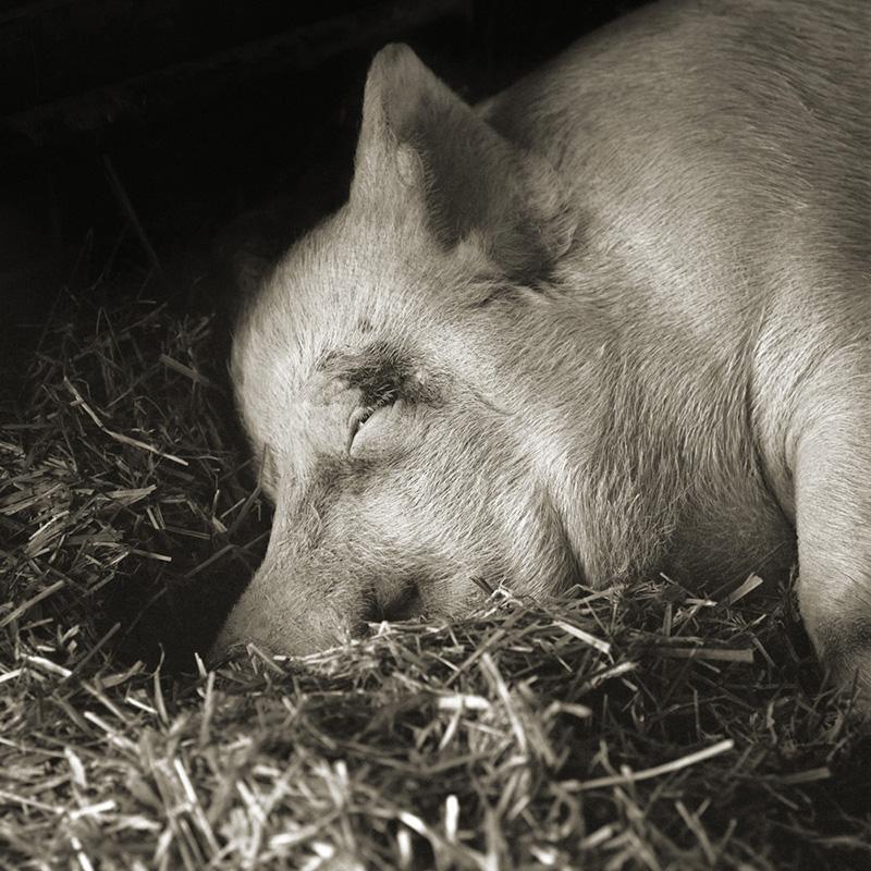 Teresa, Yorkshire Pig, age 13