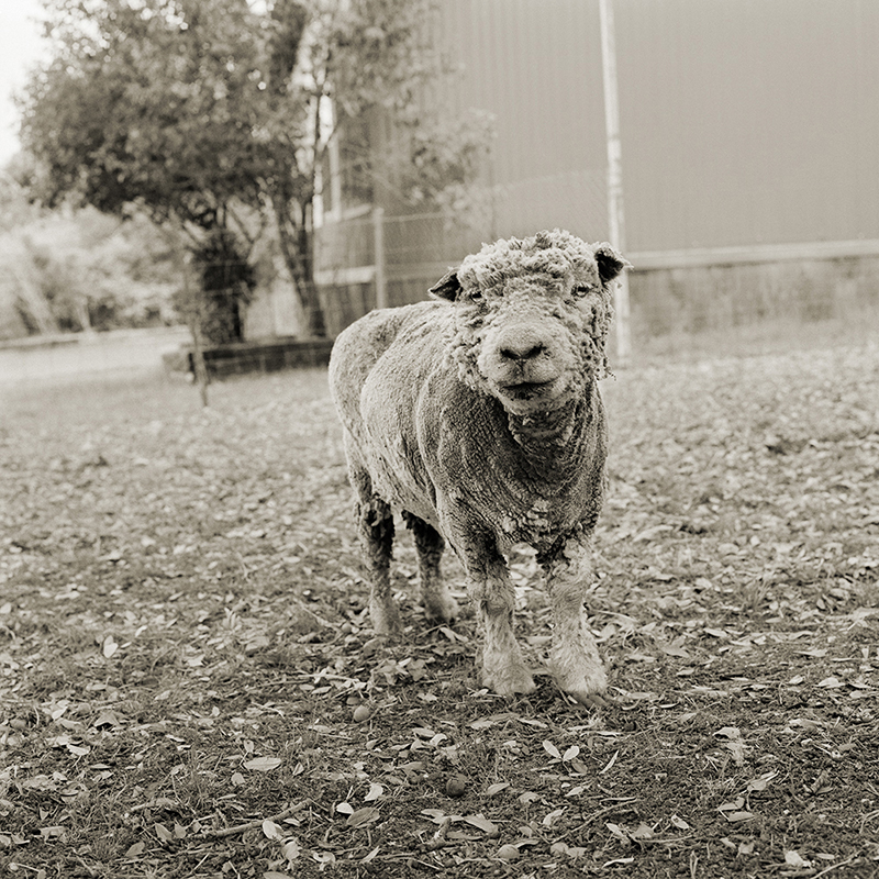 Phyllis, Southdown sheep, 13