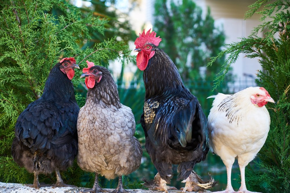 Our favorite bloggers share a knack for presenting chickens as entirely worthy of our attention.