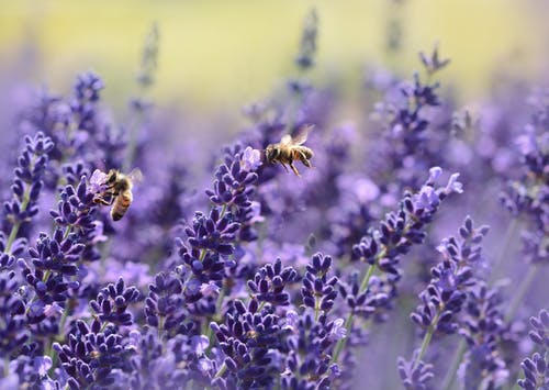 Lavender is a no-fuss option that bees adore.