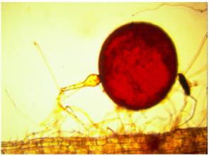 Figura 6. Estructuras de hongos formadores de micorrizas a y b esporas, c y d raíces de pasto Brachiaria colonizadas con HFM.
