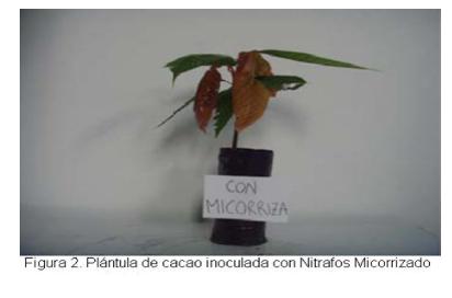 Evaluacion - Abonamos Micorrizas - Cacao 2.png