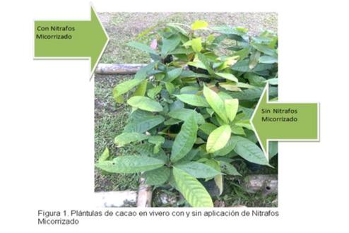 Evaluacion - Abonamos Micorrizas - Cacao 1.png