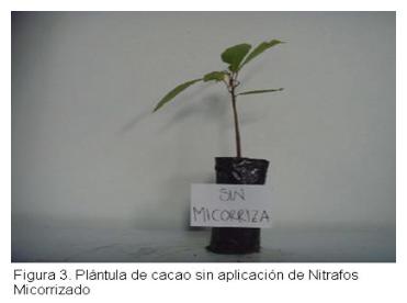 Evaluacion - Abonamos Micorrizas - Cacao 3.png