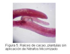 Evaluacion - Abonamos Micorrizas - Cacao 5.png