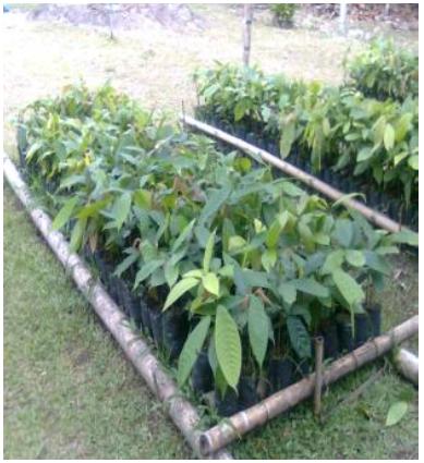 Evaluacion - Abonamos Micorrizas - Cacao 6.png