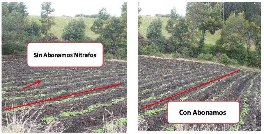 Evaluación - Abonamos Nitrafos - Papa criolla 2.png