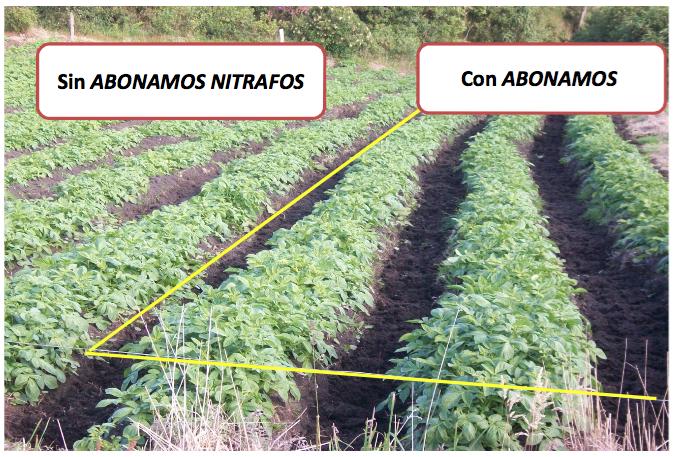 Evaluación - Abonamos Nitrafos - Papa criolla 3.png