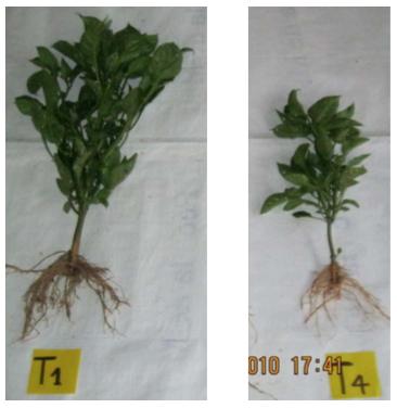 Figura 6.  Efecto de los diferentes tratamientos sobre plantas de Pimentón en el Municipio de Guarne
