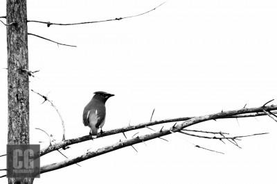 Cardinal at Wardsville Woods