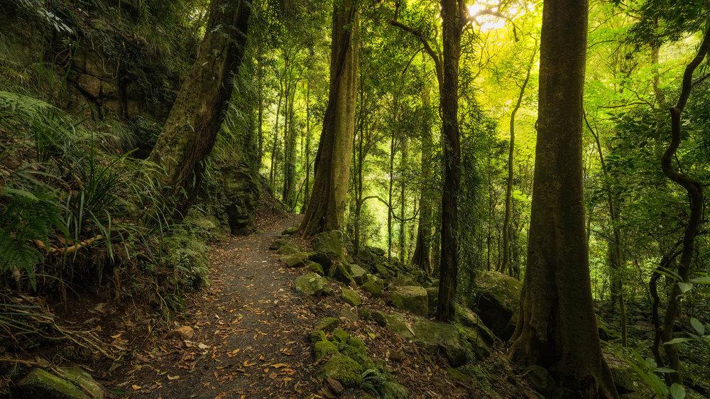 Walking along the trail in Dorrigo National Park