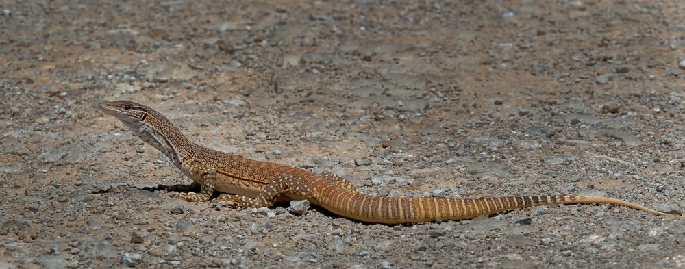This shot was taken by Mr Fritz. We were travelling through a remote corner of South Australia when this beautifully patterned lizard crossed the road. Seeing it from the car was fun, even exhilarating. But if it was anywhere near me, or in my house, I would simply have a heart attack.