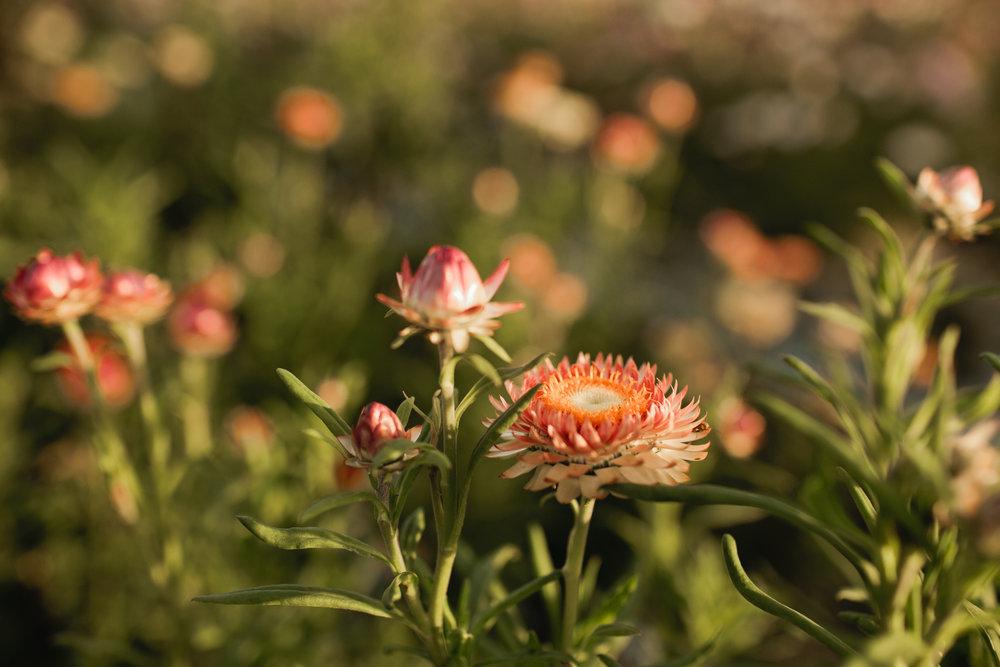 Strawflower 3.jpg