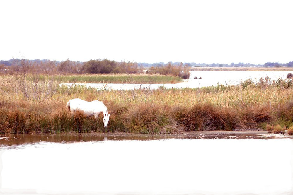 WILD PONY, CAMARGUE, FRANCE