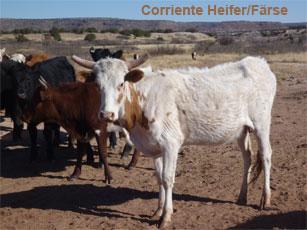 corriente heifer_0.jpg