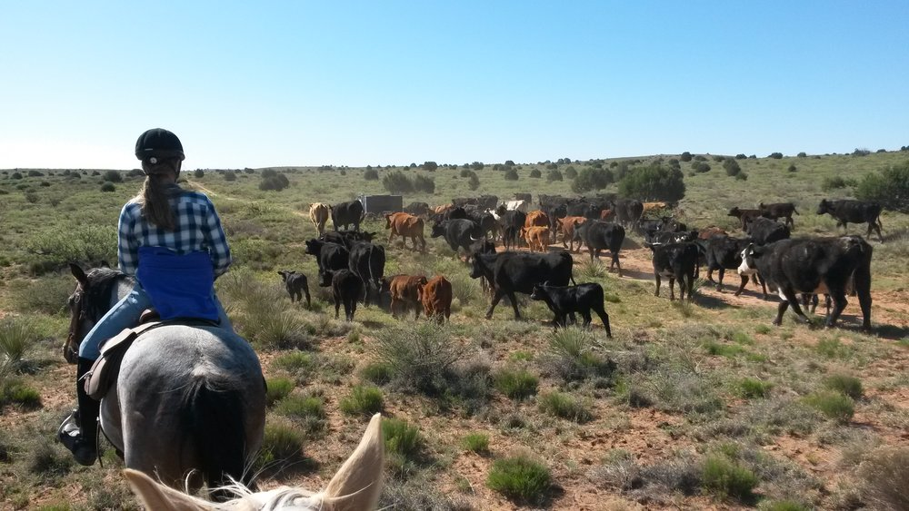 We are helping friends to gather their cattle from a pasture and drive them into the pens (left: Annika on Gus).  Wir helfen Freunden ihre Rinder aus einer Weide zusammen zu treiben und in die Pens zu treiben (links Annika auf Gus).