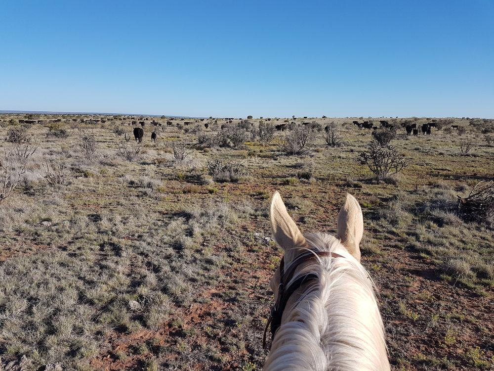 We are helping neighbors with branding again. THIS is a view that makes every Cowboy`s/Cowgirl`s heart beat faster!  Wir helfen wieder Nachbarn beim Branding. DAS ist ein Anblick, der das Herz eines jeden Cowboys/Cowgirls höher schlagen lässt!