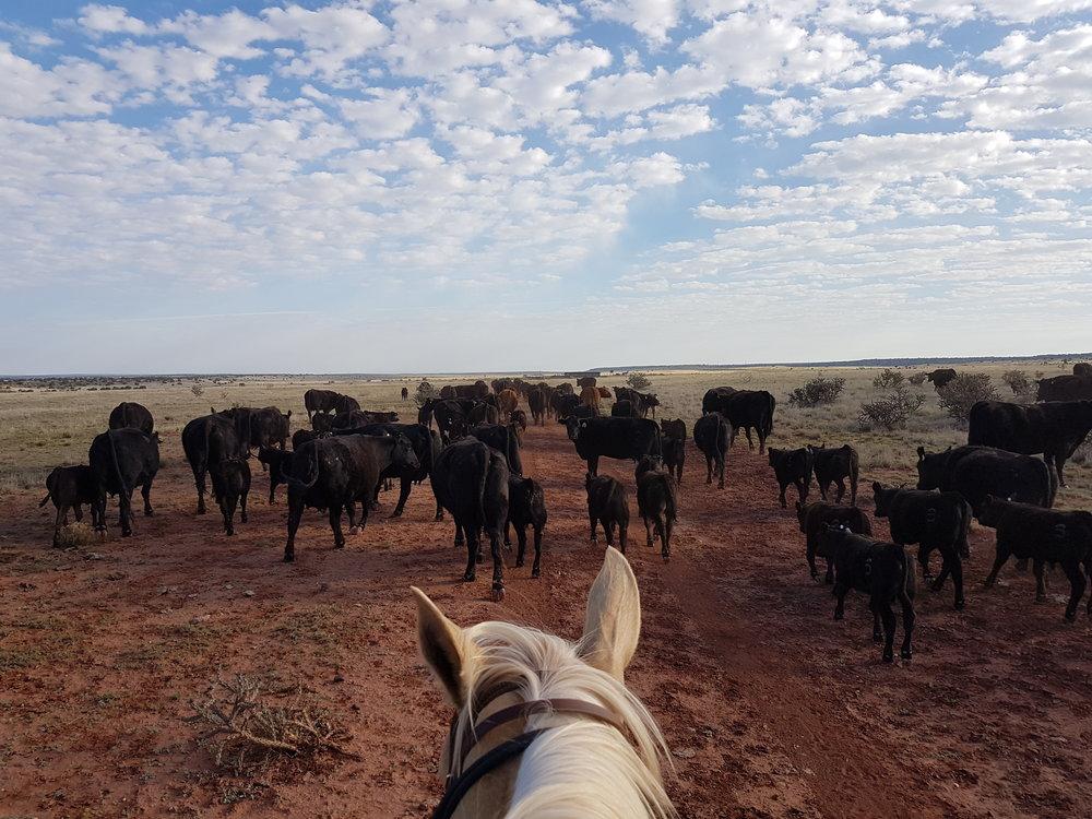 Today we gather the cattle and drive them to the pens for sorting purposes.  Heute treiben wir die Rinder zwecks Aussortieren zusammen und in die Pens.