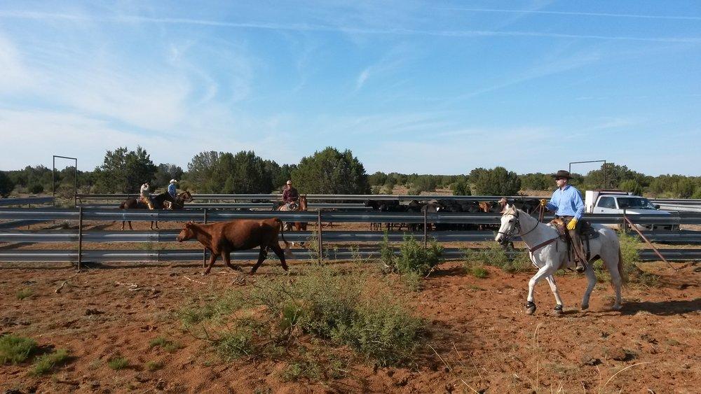 We had the herd already in the pens, when Uwe (on Manny) showed up with the last missing cow! Good job cowboy!  Wir hatten die Herde schon in den Pens, als Uwe (auf Manny) mit der letzten vermissten Kuh auftauchte! Gute Arbeit Cowboy!