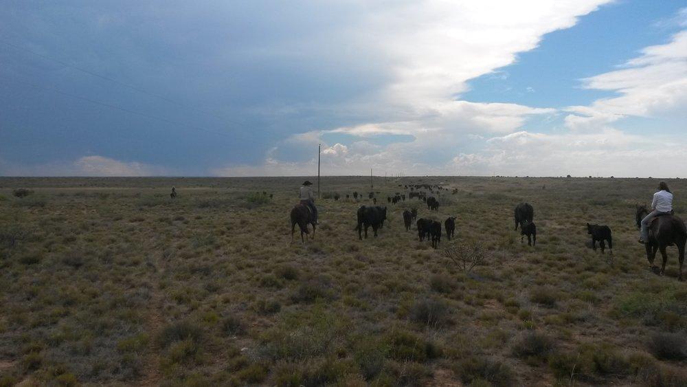 Late that afternoon the branding was done and we drove the cattle back into the pasture we got them from.  Spät am Nachmittag war das Branding erledigt und wir trieben die Kühe zurück in die Weide, aus der wir sie geholt hatten.