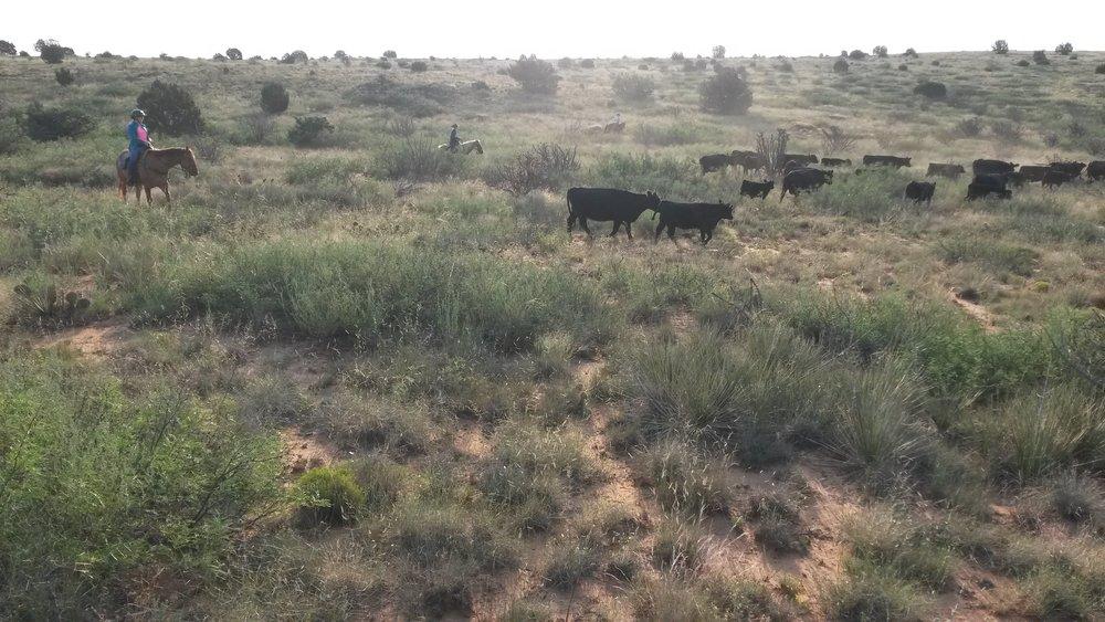 Beginning of September we helped neighbors gathering cattle. Our guest Katrin on Whiskey on the left at work.  Anfang September haben wir Nachbarn geholfen Rinder einzutreiben. Links unser Gast Katrin auf Whiskey bei der Arbeit.