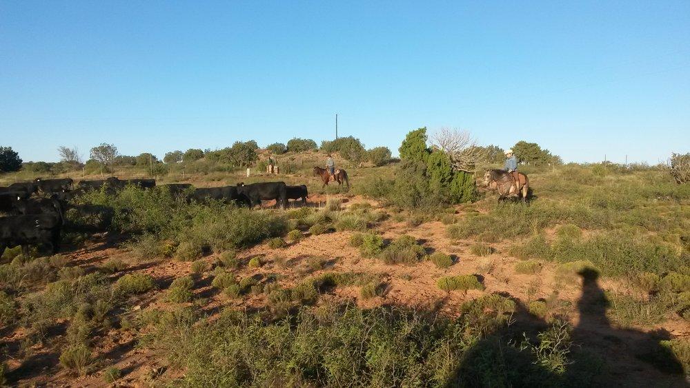 And again we are helping neighbors to gather cattle. Andrea and Dusty (right) at work  Und wieder helfen wir Nachbarn Rinder einzutreiben. Andrea und Dusty (rechts) bei der Arbeit.