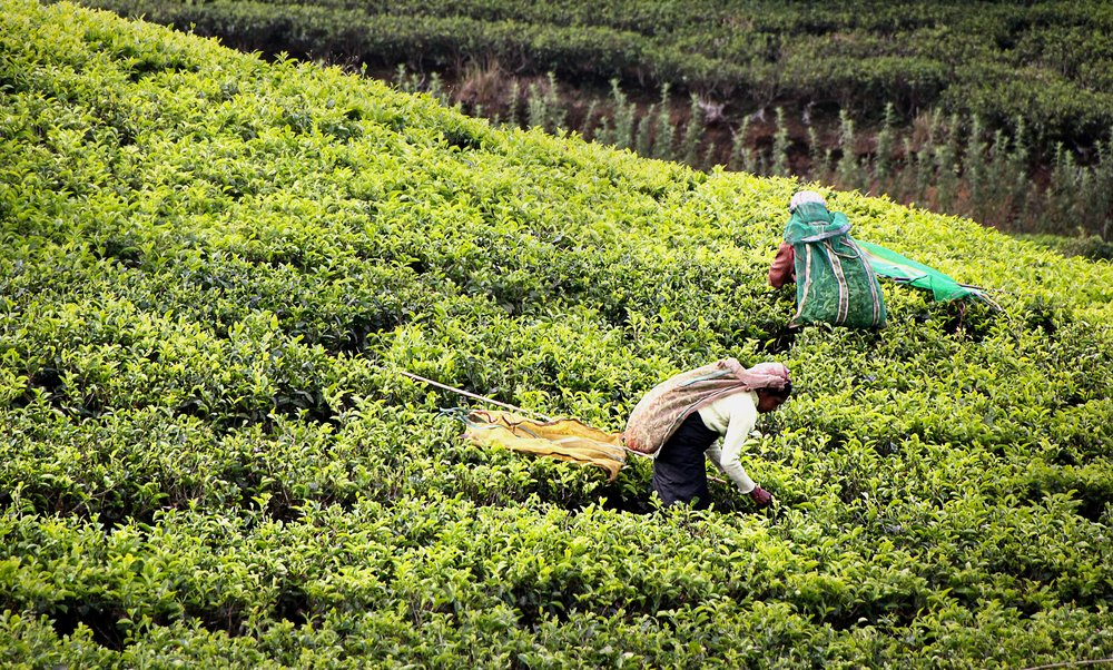 Tea pickers at work in Kandy, Sri Lanka