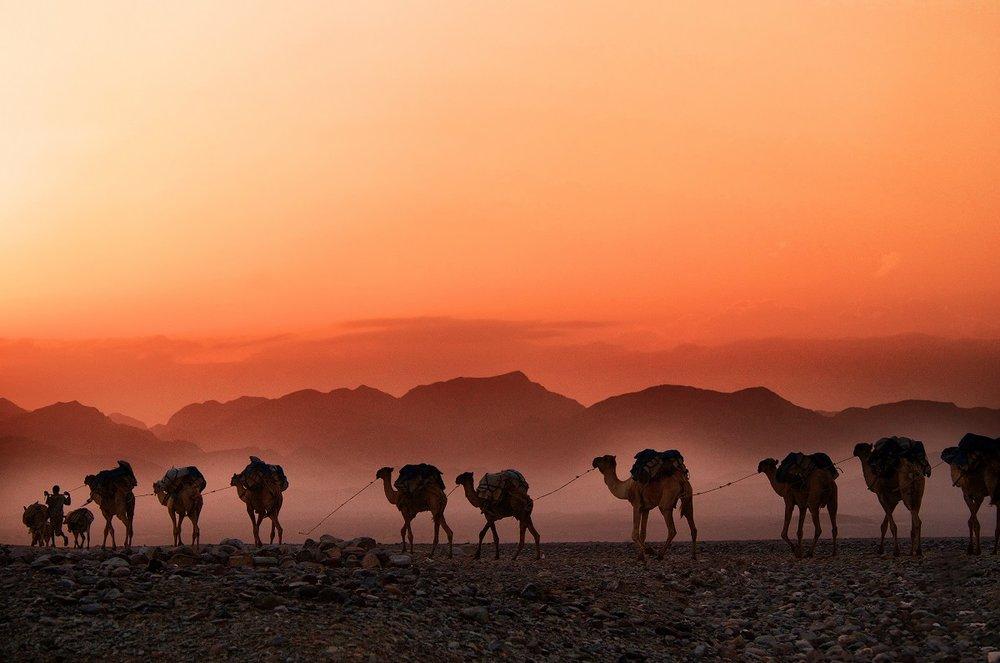 Camels trekking in the Ethiopian highlands, Dallol, Ethiopia. Image credit: Trevor Cole