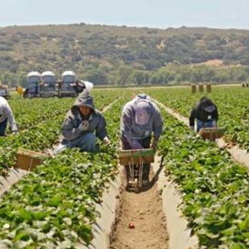 Labor Violations Remain Common in Farmwork   Central Coast Public Radio