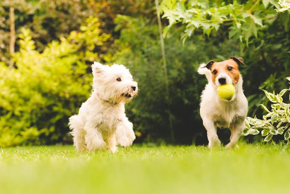 two-small-dogs-playing-in-park.jpg