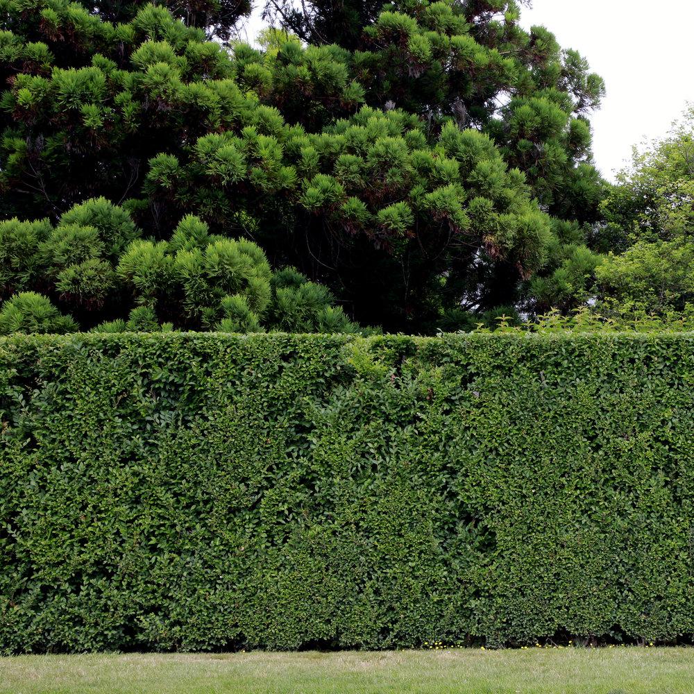 hedge11.jpg