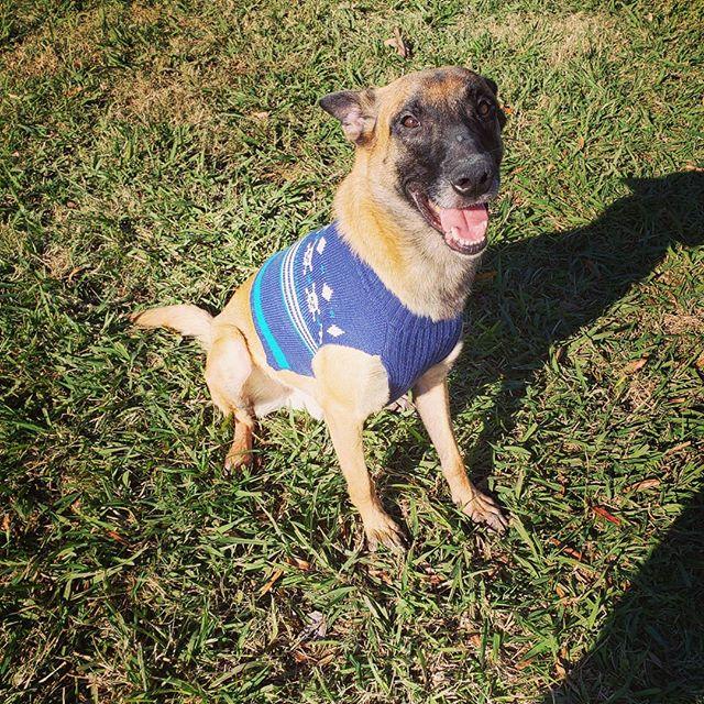 Sweater weather #alldogsunleashednc #alldogsunleashed #mali #malinois #maligator #malinoispuppy #malinoislove4ever #shepherd #shepherds #belgianmalinois #fun #pup #puppy #puppies #puppydog #puppylife #puppylove #puppiesofinstagram #puppygram #dog #dogs #doglife #doglove #doglover #dogstagram #dogoftheday #charlotte #northcarolina #nc #704