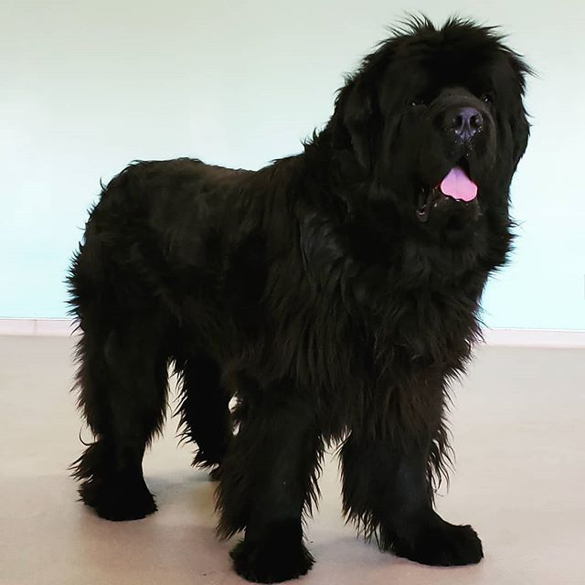 We are training a bear today! #alldogsunleashednc #alldogsunleashed #newfoundland #newfoundlandpuppy #newfie #bigdog #fun #pup #puppy #puppies #puppydog #puppylife #puppylove #puppiesofinstagram #puppygram #dog #dogs #doglife #doglove #doglover #dogstagram #dogoftheday #charlotte #northcarolina #nc #704