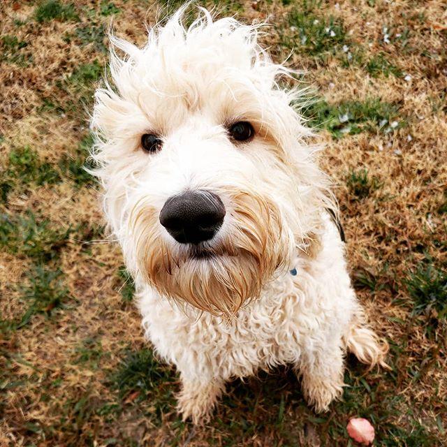 Rockstar hair! #doodle #doodles #doodlesofinstagram #goldendoodle #doodlepuppy #fluffy #fun #pup #puppy #puppies #puppydog #puppylife #puppylove #puppiesofinstagram #puppygram #dog #dogs #doglife #doglove #doglover #dogstagram #dogoftheday #charlotte #northcarolina #nc #704
