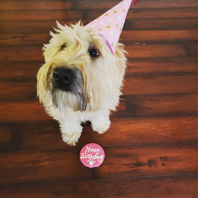 Lucy is spending her birthday with us! #wheatenterrier #wheatensofinstagram #fun #pup #puppy #puppies #puppydog #puppylife #puppylove #puppiesofinstagram #puppygram #dog #dogs #doglife #doglove #doglover #dogstagram #dogoftheday #charlotte #northcarolina #nc #704