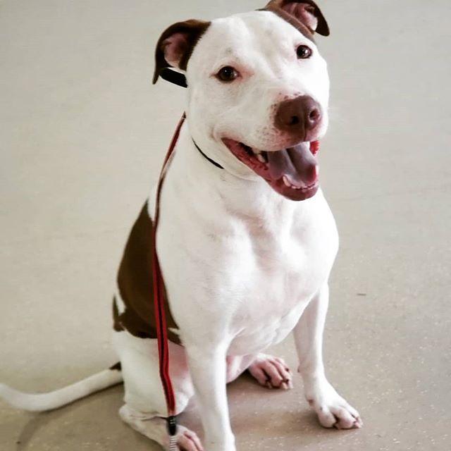 Cheese!🧀 #dontbullymybreed #alldogsunleashednc #alldogsunleashed #pitbull #pitbulllove #pitbullmix #mixdog #happy #happydog #happyday #pup #puppy #puppies #puppydog #puppylove #puppygram #puppiesofinstagram #dog #dogs #doglover #doglife #dogstagram #dogsofinsta #charlotte #northcarolina #nc #704