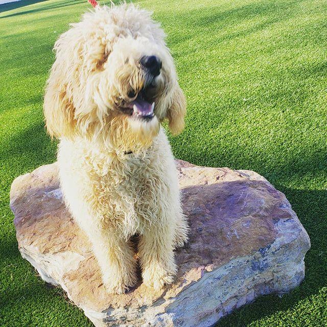 Scruffy hair dont care!!! #alldogsunleashednc #goldendoodle #doodle #doodles #doodlesofinstagram #happy #happydog #mustache #dog #dogs #doglove #doglovers #dogstagram #dogoftheday #dogtrainer #dogtraining #puppy #pup #puppies #puppiesofinstagram #puppylove #charlotte #northcarolina #nc #704 #pets #petsofinstagram