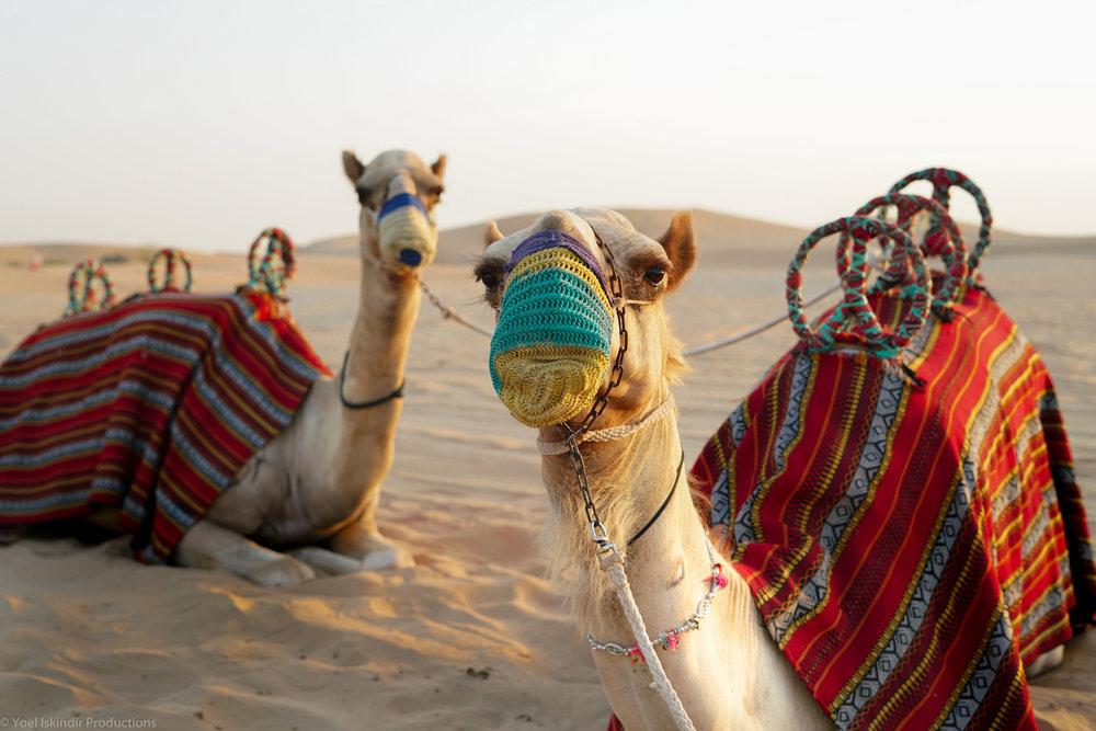 camels (1 of 1).jpg