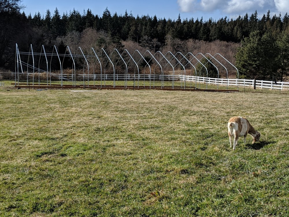 The start of the building of the hoop house. (Goat for perspective. That's Sarah!)