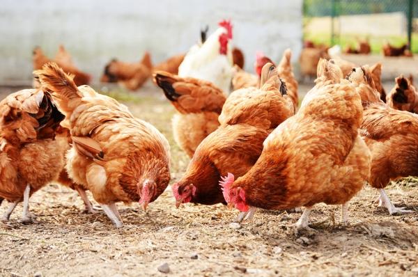 JMGiStock-hens.jpg